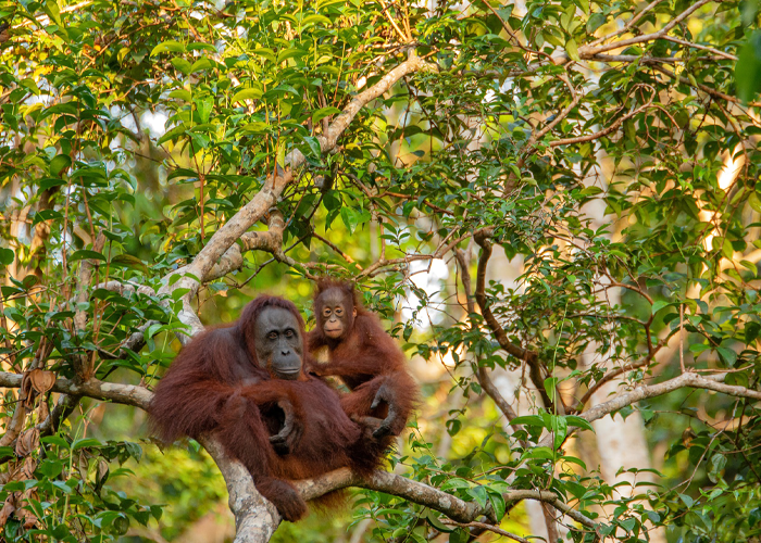 Orangutan Appeal UK | Optimise Energy UK